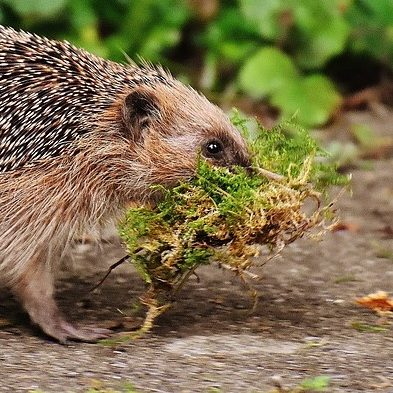 hedgehog-1630030_960_72022